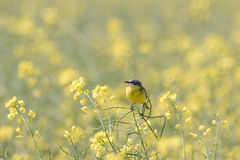 Motacilla flava, Yellow Wagtail in a field of rapeseed Royalty Free Stock Images