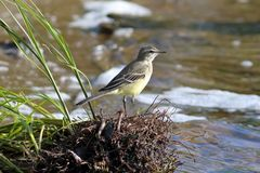 Motacilla flava. The yellow Wagtail is a summer day on the Yamal. Motacilla flava. Yellow Wagtail on the shore of a lake in Siberia royalty free stock photo