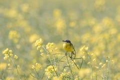 Motacillaflava, gul sädesärla i ett fält av rapsfröt Royaltyfria Bilder
