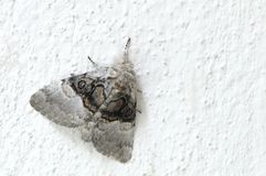 Moth. Sitting on white wall royalty free stock photography