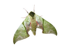 Moth. A giant green moth isolated in white royalty free stock photos