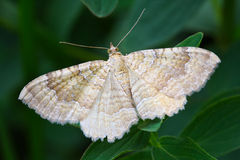 Moth. On leafs. Late afternoon on natural grassland Royalty Free Stock Photo