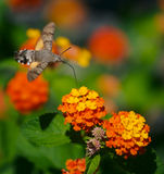 Moth. Eats nectar from the flowers Stock Images
