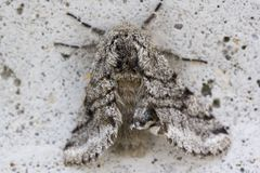 Moth. A grey moth on concrete Royalty Free Stock Images