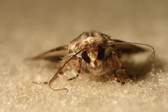 Moth. Macro shot of a moth sitting on a carpet, Melbourne, Australia Royalty Free Stock Photography