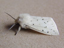Moth. White Moth Royalty Free Stock Images