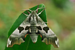 A moth. Is resting on a leaf Royalty Free Stock Images