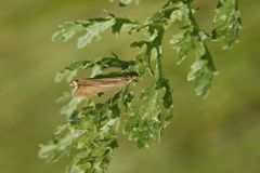 Moth. On green leaf in field. Worksop, Notts, England Stock Photo