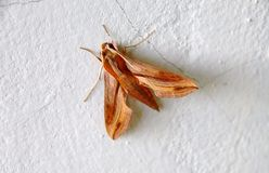 A moth Royalty Free Stock Photos