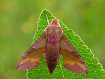 Moth. The Small Elephant Hawk moth (Deilephila porcellus royalty free stock photo
