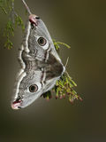 Moth. The small emperor moth (Saturnia pavonia stock image