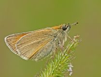 Moth. The Small Skipper on a catstail royalty free stock photo