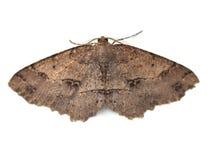Moth. Signate Melanolophia Moth (Melanolophia signataria) on a white background Stock Image