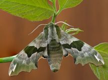 Moth. Lime Hawk-moth (Mimas tiliae) on a branch Stock Photo