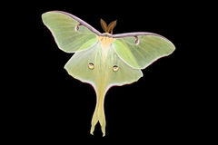 Moth Royalty Free Stock Image
