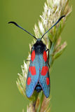 Moth. The narrow-bordered five-spot burnet (Zygaena lonicerae). From top royalty free stock photo