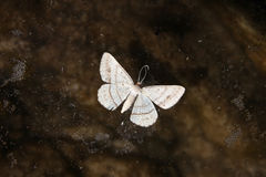 Moth. A dead moth in a rock pool stock photography