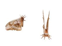 Moth. Front and side view of a moth Stock Photos