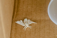 Moth. A white moth in a box Royalty Free Stock Image