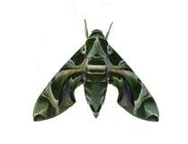 Moth Royalty Free Stock Photos