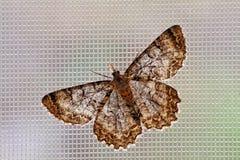 Moth. Beautiful moth on window screen Stock Photo