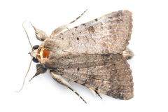 Free Moth Royalty Free Stock Image - 53295576