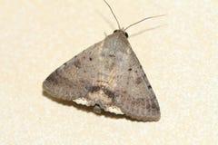 Free Moth Royalty Free Stock Image - 61647986