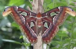 Moth. Attacus Atlas moth royalty free stock image