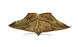 Moth Stock Photography