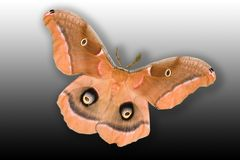 Moth. Polyphemus Moth (antheraea polyphemus) isolated on gradient background showing full wing spand of 3 1/2 to 4 inches Royalty Free Stock Images