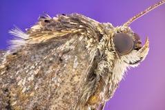 Free Moth Stock Photo - 79864260