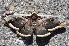 Moth. Big moth over asphalt Stock Photo