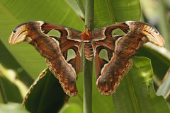 Moth (Attacus atlas). A Moth (Attacus atlas) sitting on a green leaf Stock Photography