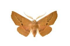 Moth - Australian Geometrid Stock Photos