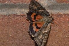 Moth. A basic gray, orange moth Stock Photo