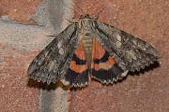Moth. A basic gray, orange moth Royalty Free Stock Image