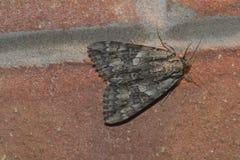 Moth. A basic gray, orange moth Royalty Free Stock Photography