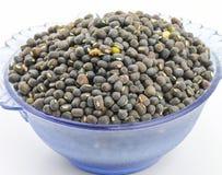Moth Beans  Vigna aconitifolia Stock Image