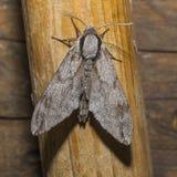 Moth. Big gray Moth , Flaying in the night Stock Photo