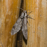 Moth. Big gray Moth , Flaying in the night Royalty Free Stock Images