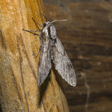 Moth. Big gray Moth , Flaying in the night Royalty Free Stock Photography