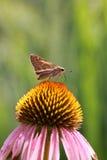 Moth on Black eyed Susan Stock Photography