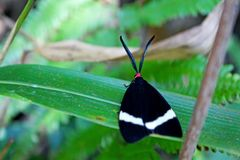 Moth with black and white wings Royalty Free Stock Photo
