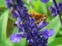 Moth on blue flower. Macro of a moth and purple flowers Stock Photos