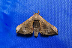 Moth on blue screen (fly sheet) Royalty Free Stock Photos