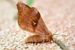 Moth. Brown moth situated on ground stock image