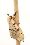 Moth, Brudnice Lymantria dispar, female Royalty Free Stock Photos
