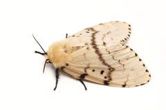 Moth, Brudnice Lymantria dispar, female Royalty Free Stock Image