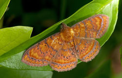 Free Moth, Butterfly At Night, Moth In Thailand Stock Photography - 88083302