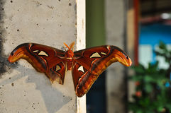 Moth,butterfly. Atlas Moth - the largest moth in the world Stock Photo